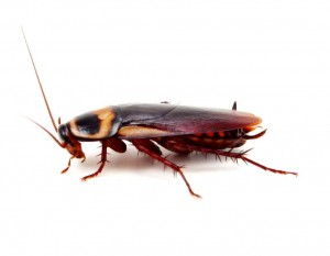 Cockroach-Pest Control Bournemouth
