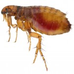 How to get rid of Fleas in the House Fast