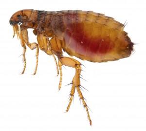 Flea Contol-Pest Control Bournemouth