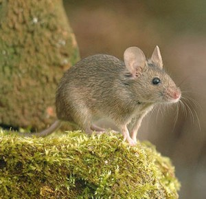 Mice control West Moors