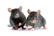 Mice Control-Pest Control Bournemouth