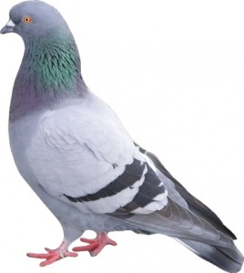 Pigeon Proofing-Pest Control Bournemouth