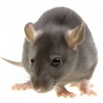 Rodent Control-<strong>Pest Control Bournemouth</strong>