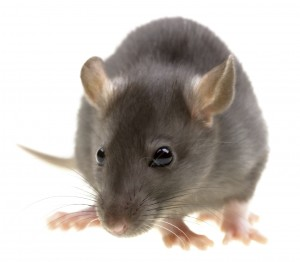 Rat Control-Pest Control Bournemouth