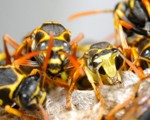 Wasp Nest Removal-Pest Control Bournemouth