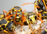 Wasp Nest Control Bournemouth